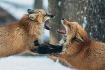 Two foxes fighting, baring teeth at each other